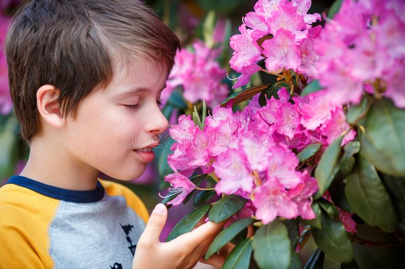Spring portrait of cute attractive 10 year old boy smelling blossoming pink Rhododendron in the garden stock photo