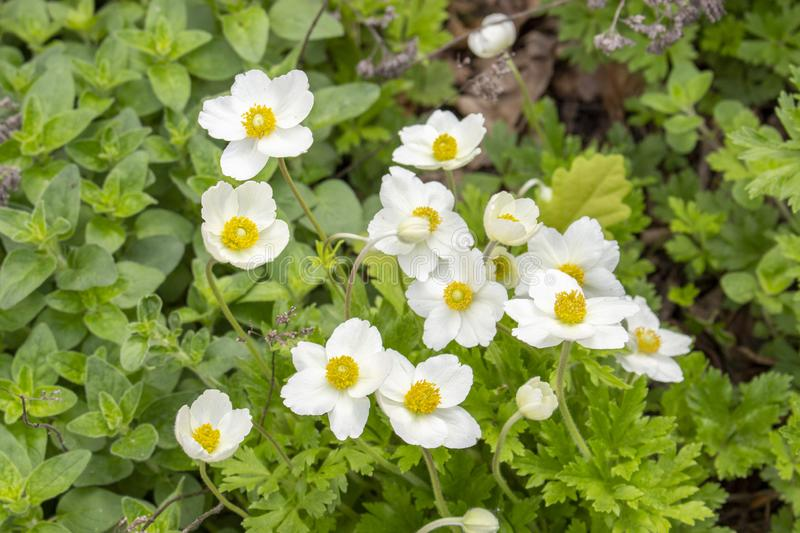 Spring primroses white anemones in green foliage wild flowers. White tender flowers buttercups anemones stock photos