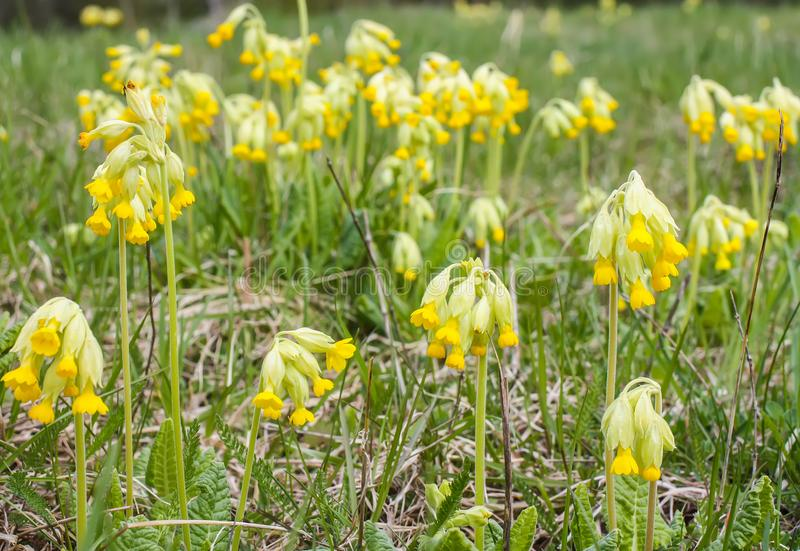 Spring primula flowers blooming in a park. Yellow Cowslip (Primula veris) plants. Spring yellow primula flowers blooming in a park. Yellow Cowslip &# stock photos