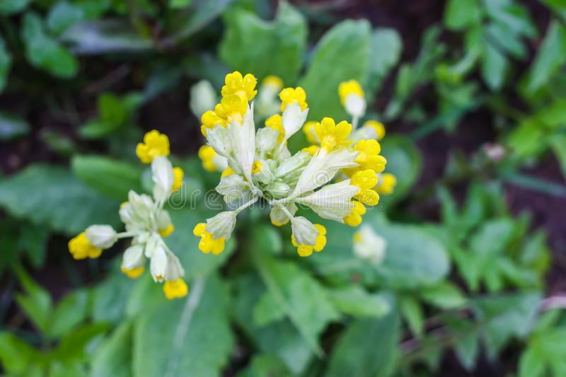 Spring primula flowers blooming in a park. Yellow Cowslip (Primula veris) plants. Spring yellow primula flowers blooming in a park. Yellow Cowslip &# royalty free stock image