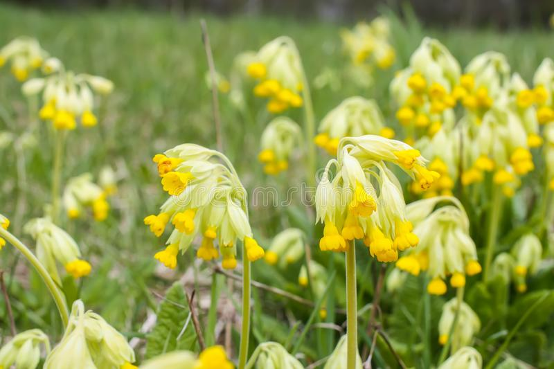 Spring primula flowers blooming in a park. Yellow Cowslip (Primula veris) plants. Spring yellow primula flowers blooming in a park. Yellow Cowslip &# royalty free stock photos