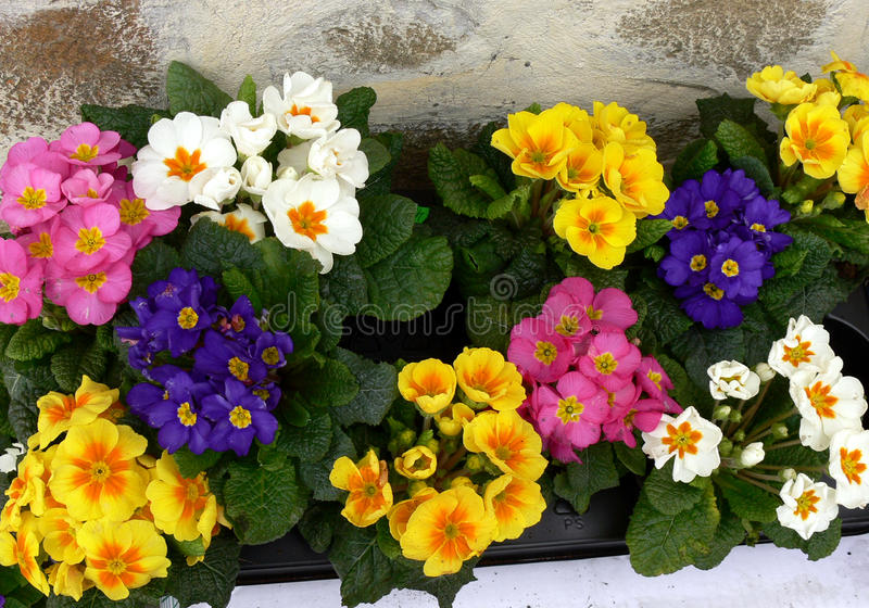 Spring Primula royalty free stock photos