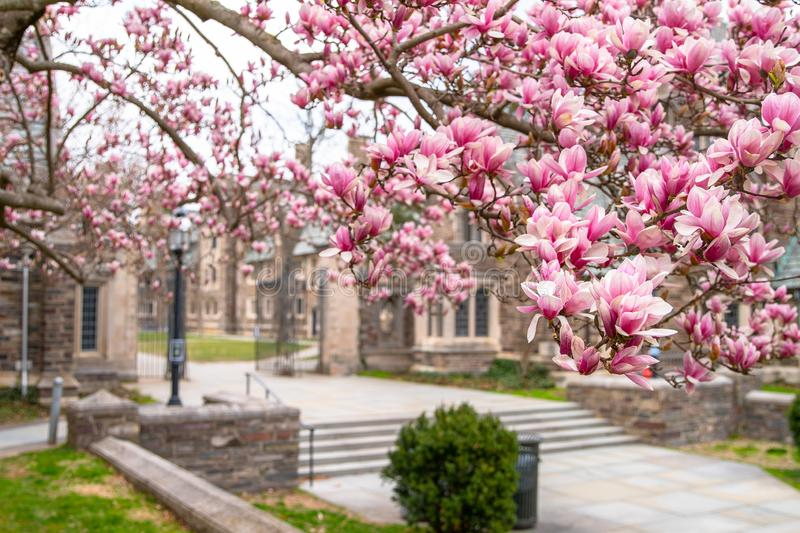Spring in Princeton NJ. Famous destination in USA Princeton University. Blooming pink cherry trees close-up view royalty free stock photos