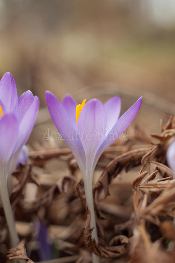 Flowers on macro whit blur background.Spring purple crocus. Blooming crocuses in the clearing. stock images