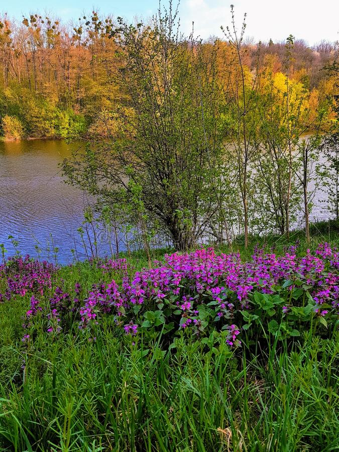 Spring purple flowers on the river bank, Ukraine royalty free stock image