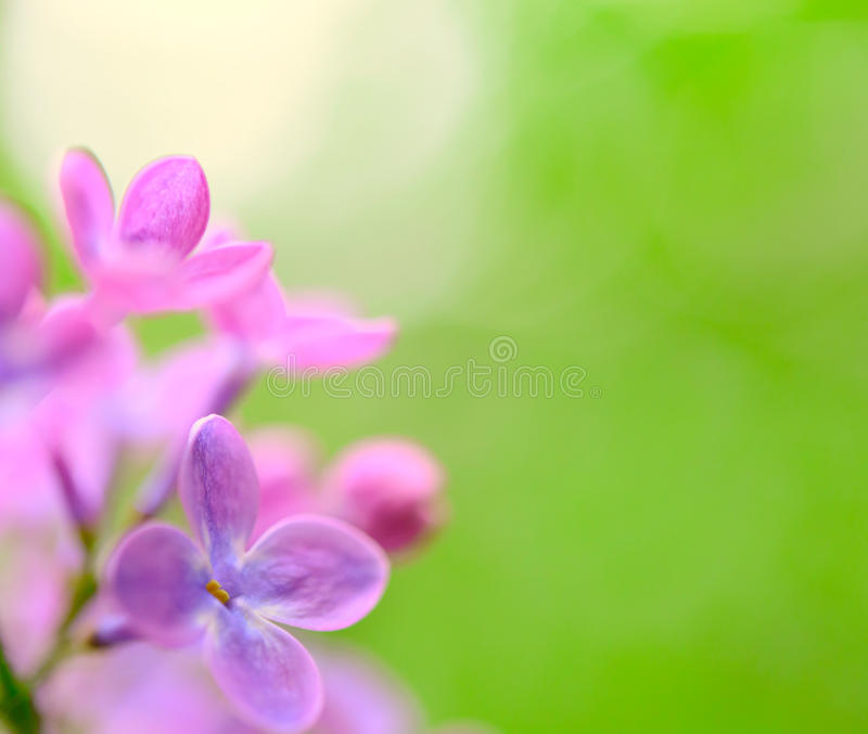 Download Spring Purple Lilac Flowers On The Green Background Stock Photo - Image: 41052476