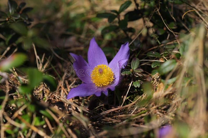 Spring purple wild forest flower pasqueflower close up stock photos
