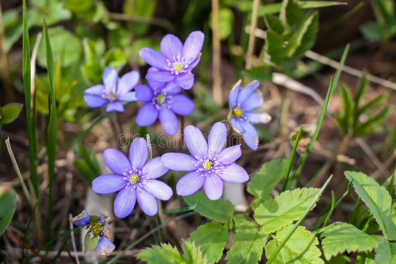 Spring purple wildflowers. In a garden stock images
