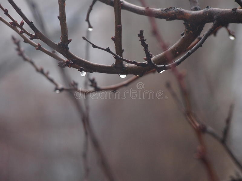 Spring rain. Comes and drips down the branches of treesn stock images