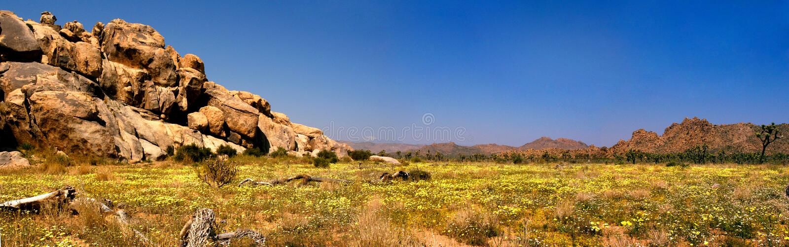 A panoramic view of Joshua Tree National Park after the spring rains and a carpet of yellow flowers blooming. After the spring rains come the desert flowers and royalty free stock image