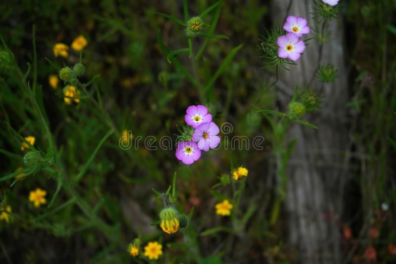 Contrasting wildflowers. The spring rains in the sierra nevada foothills have led to a plethora of colors and wildflowers contrasting against each other in a royalty free stock photo