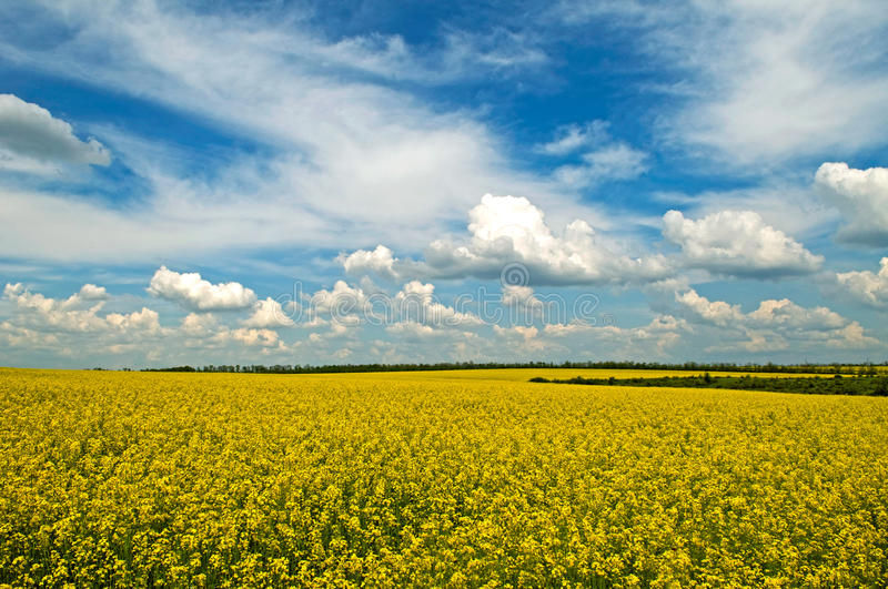 Spring - field. Thisis a rural spring landscape with ripe field. Yelow bright field and blue sky are life-asserting royalty free stock photos