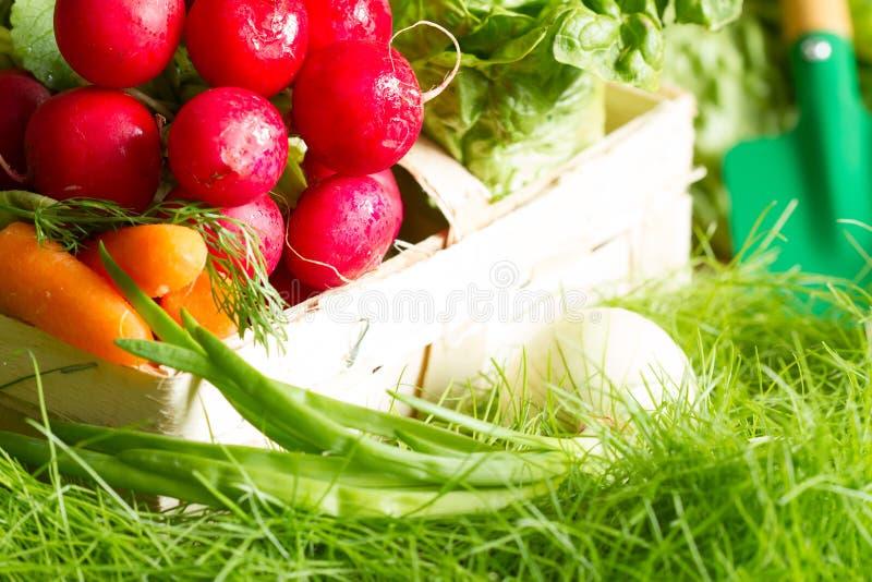 Spring raw fresh organic vegetables harvesting in the garden. Closeup royalty free stock image