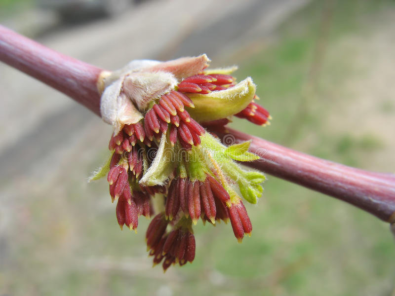 Spring. Red maple catkins. Macro royalty free stock images