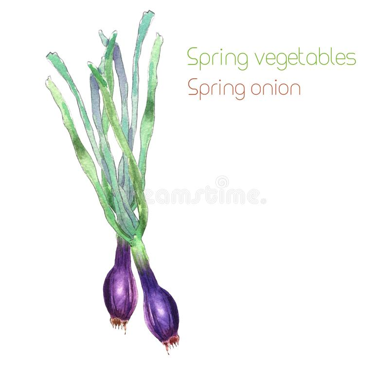 Spring red onion. Watercolor painting of spring red onion, isolated on white background - Illustration royalty free illustration