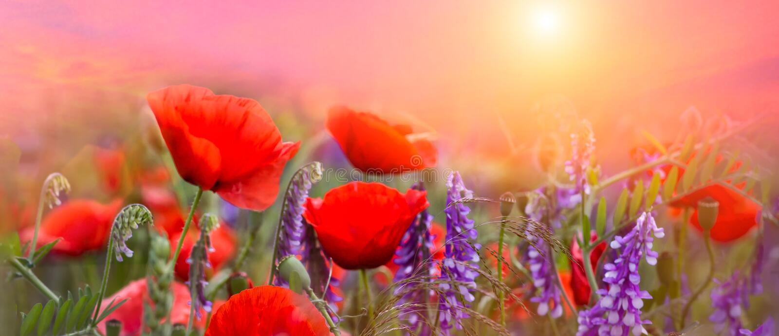 Spring red poppies flowers primroses on a beautiful pink background macro. Blurred gentle sky-sunset background. Floral nature. Background, free space for text stock image