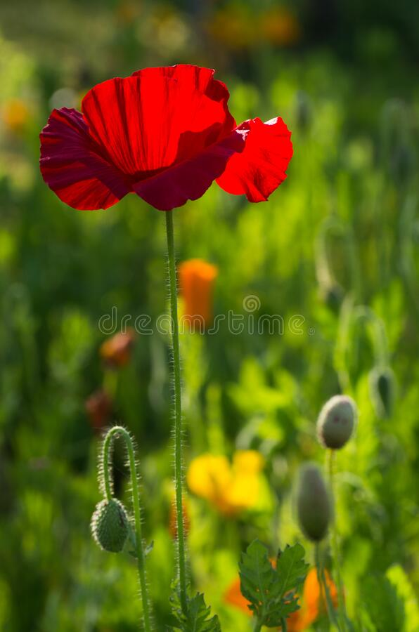 2020 Spring Red Poppy Blossom royalty free stock photo