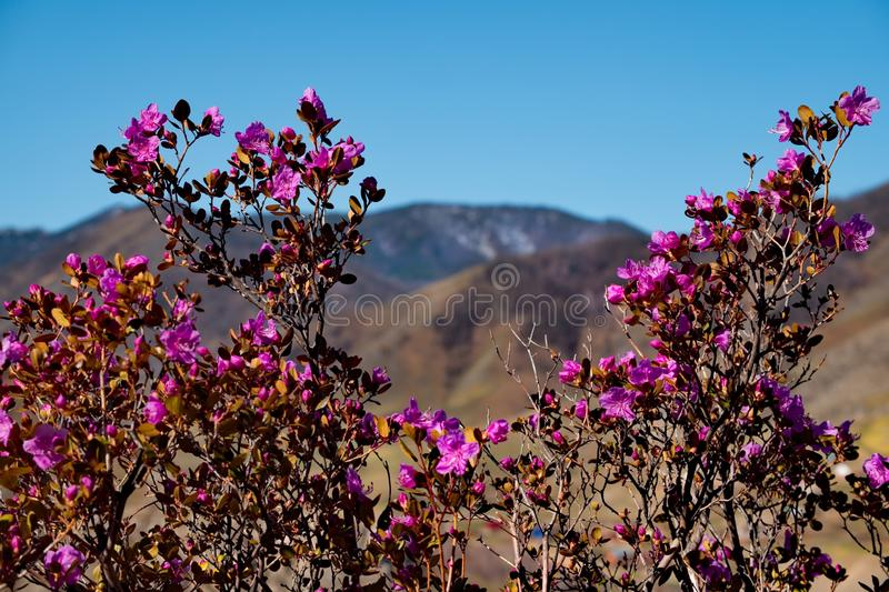 Spring rhododendron bloom. Russia. Mountain Altai. Chuyskiy tract in the period of the flowering of Maralnik Rhododendron Ledebourii stock images