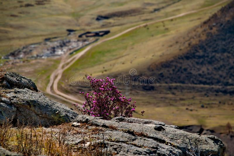Spring rhododendron bloom. Russia. Mountain Altai. Chuyskiy tract in the period of the flowering of Maralnik Rhododendron Ledebourii royalty free stock photos