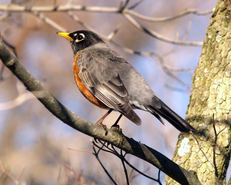 Spring Robin. Robin in tree returning for Spring