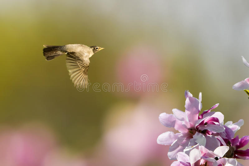 Spring Robin In Flight. Robin flying over a magnolia tree with magnolia tree in the background stock photos