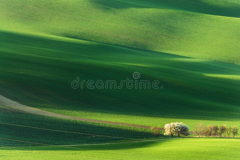 Spring rural nature landscape with blossoming flowering trees on green wavy rolling hills. Amazing sunset evening light. Spring rural nature landscape with stock images