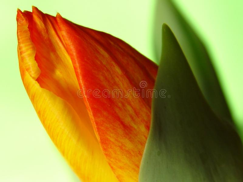 Download Spring's coming out 2 stock image. Image of tulip, opening - 56731
