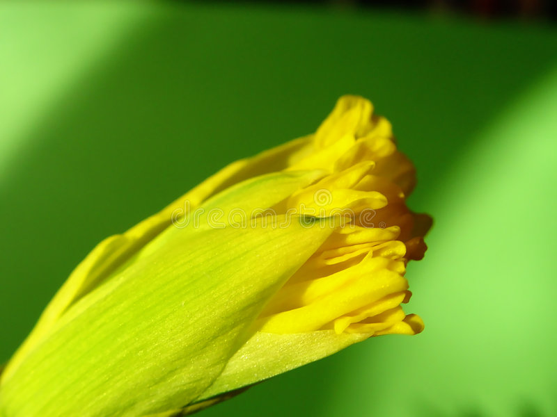 Download Spring's coming out 3 stock photo. Image of opening, yellow - 56732