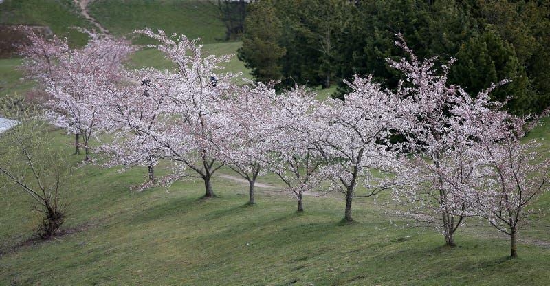 Spring Sakura Cherry Blossom. Pink blossom sakura flowers. Kaunas, Lithuania. Spring stock image