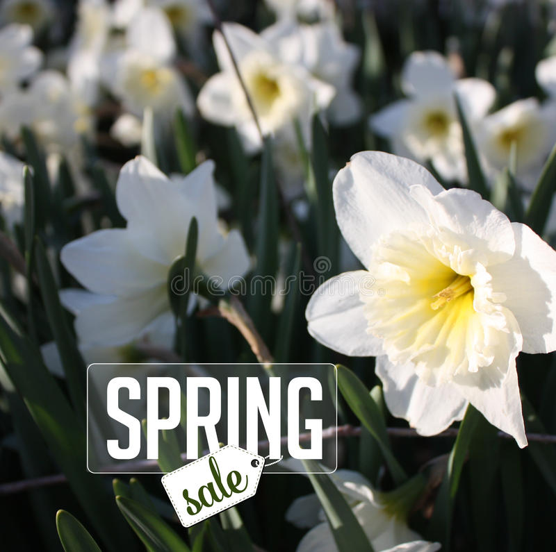 Spring sale Background with daffodils. Royalty free stock photo illustration for greeting card, ad, promotion, poster, flier, blog, article, social media stock photos