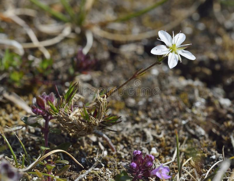 Spring Sandwort. Minuartia verna Growing on old lead mine site, Mendip Hills royalty free stock image