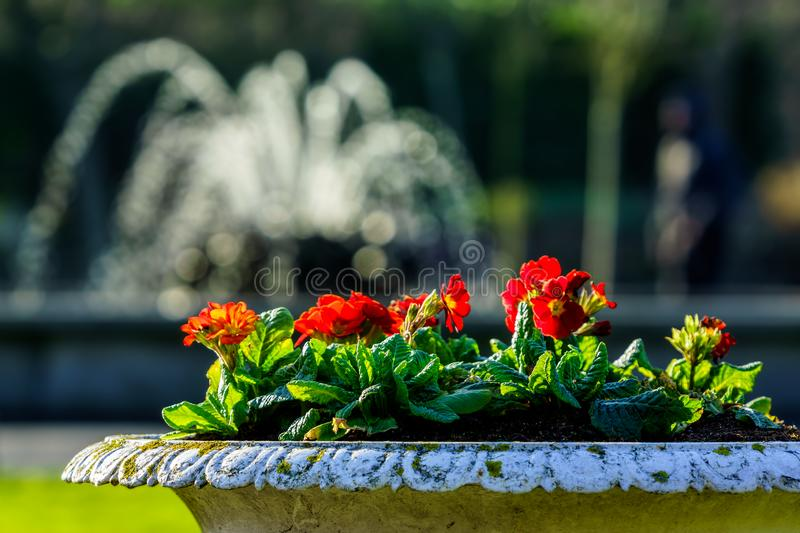 Spring season, blooming red flowers in antique pot with blurred fountain in background royalty free stock image