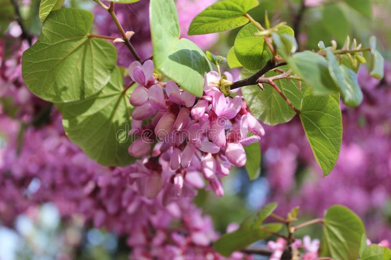 Spring season sprouted pink flowers and bee. Bees stock photography