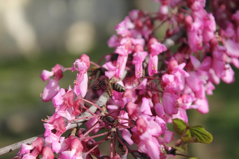 Spring season sprouted pink flowers and bee. Bees royalty free stock image