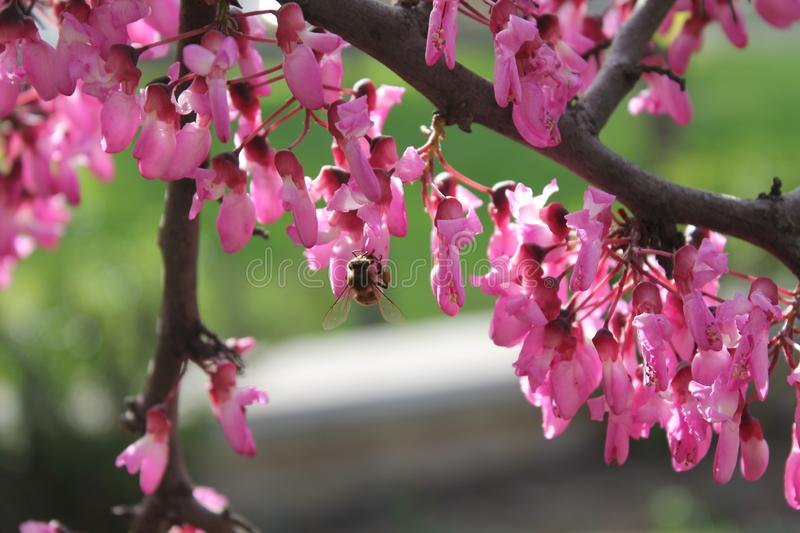 Spring season sprouted pink flowers and bee. Bees royalty free stock photos