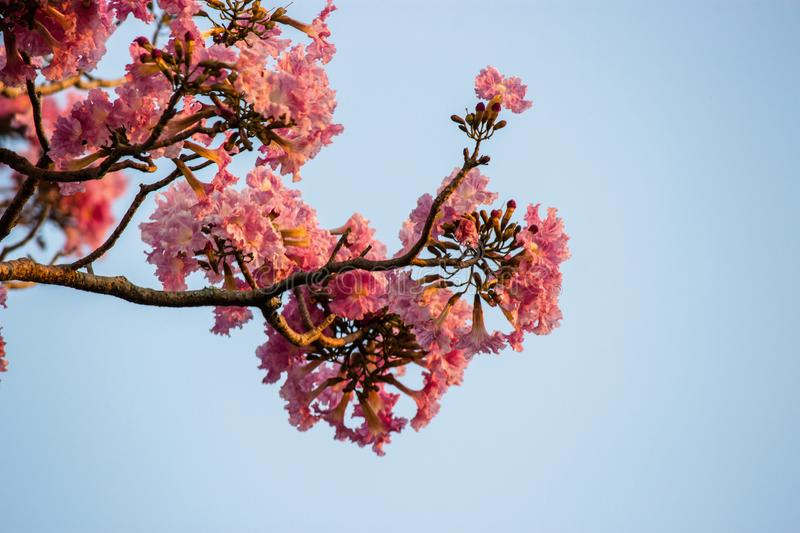 Twigs of pink flowers. The spring season, the trees and their flowers bloom, and enchant and perfume with their beauty stock photography
