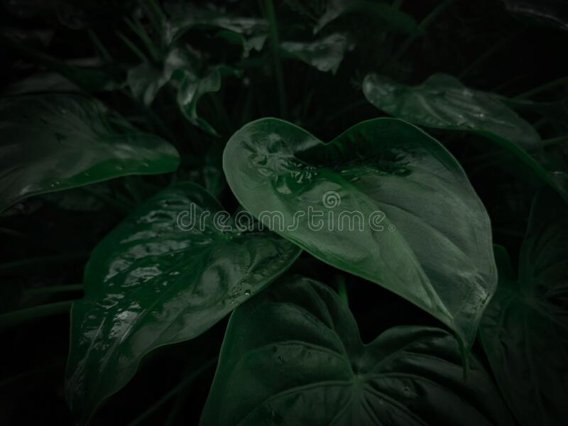 Spring season wallpaper concept, large foliage plants of tropical leaf with dark green texture in garden, abstract nature stock photos