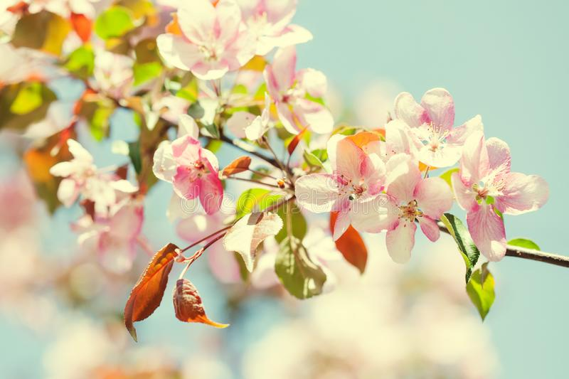 Spring season warm sunny floral wallpaper. Fruit tree branch with fresh blooming buds of delicate pink flowers on blue stock image