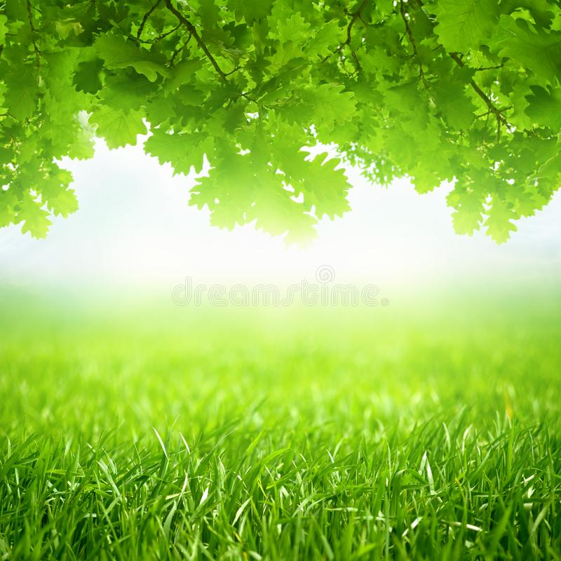 Free Spring Seasonal Background, Green Grass And Oak Leaves Grows Royalty Free Stock Photography - 109649357
