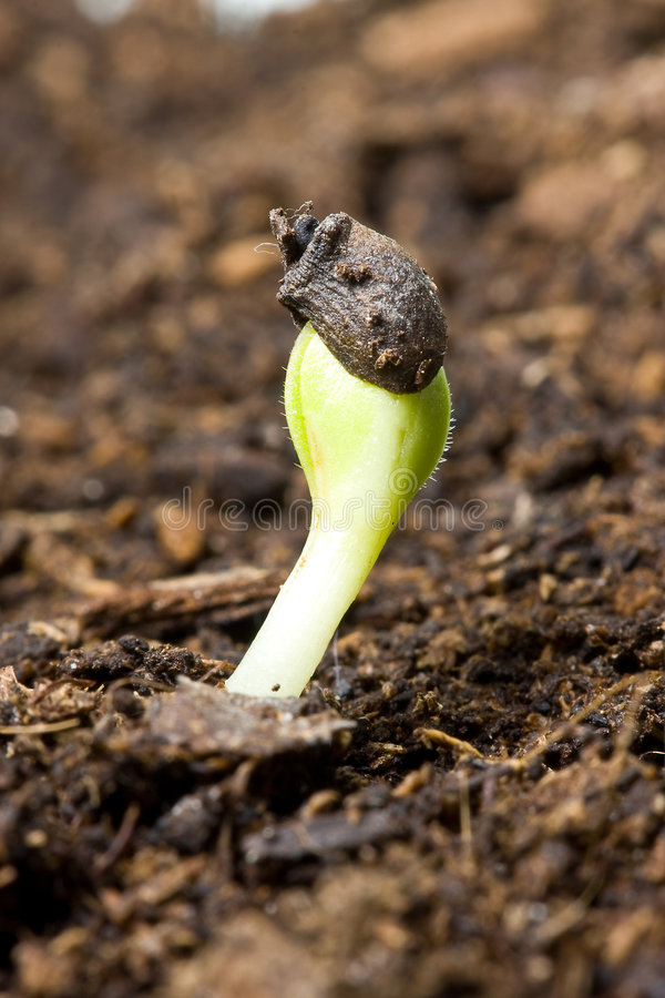 Spring Seedling Royalty Free Stock Photography
