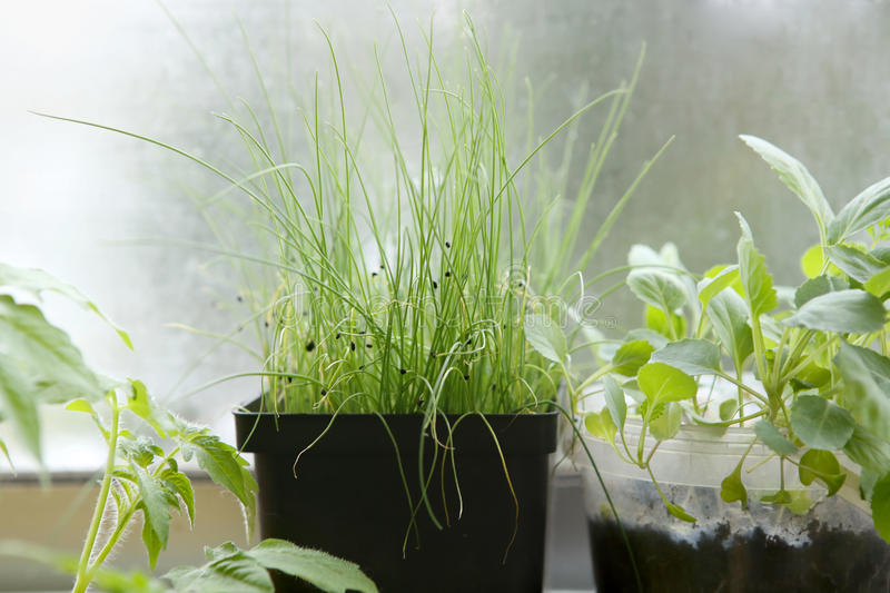 Download Spring Seedlings: Cabbages And Leeks. Vegetable Seedlings In Pots On Windowsill. Stock Photo - Image: 90750288