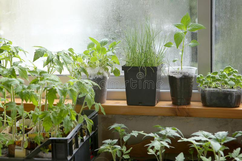 Download Spring Seedlings: Tomatoes, Pepper, Cabbages, Basil And Leeks. Vegetable Seedlings In Pots On Windowsill. Stock Image - Image: 90750297