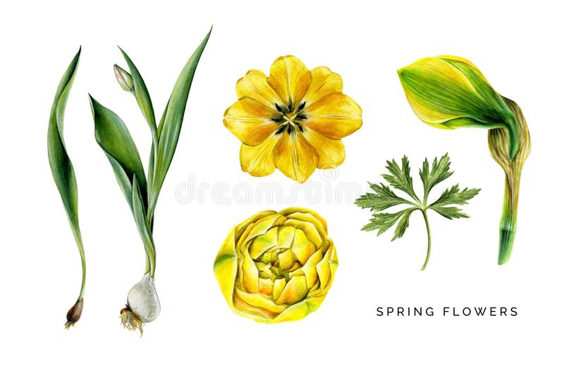 Spring set of yellow flowers. Tulips, narcissuss and leaf of globeflower. royalty free stock photos