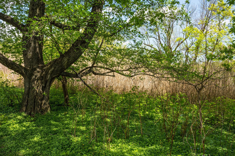 Spring Shade Tree. A large shade tree in this Spring meadow in Eastern Pennsylvania royalty free stock photos