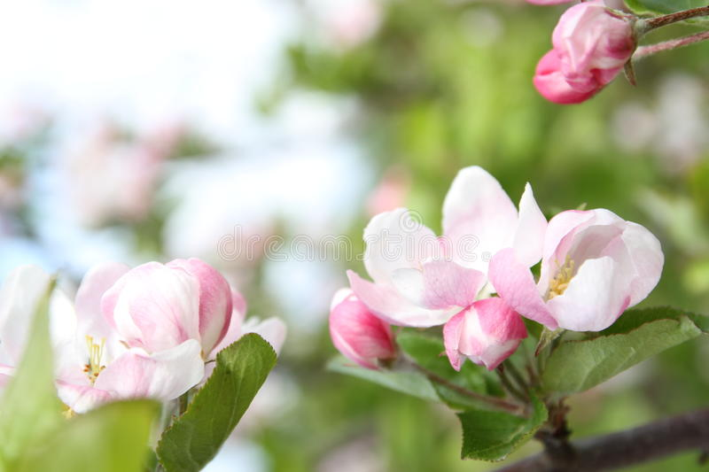 Spring shoot of pink flower of apple tree. Spring shoot of pink flowers of apple tree royalty free stock photos