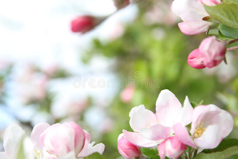 Spring shoot of pink flower of apple tree. Spring shoot of pink flowers of apple tree royalty free stock photo