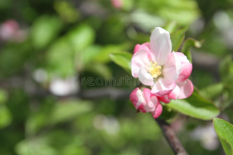 Spring shoot of pink flower of apple tree. Spring shoot of pink flowers of apple tree royalty free stock image
