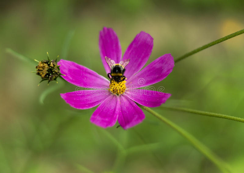 Spring single daisy flower and bee royalty free stock images