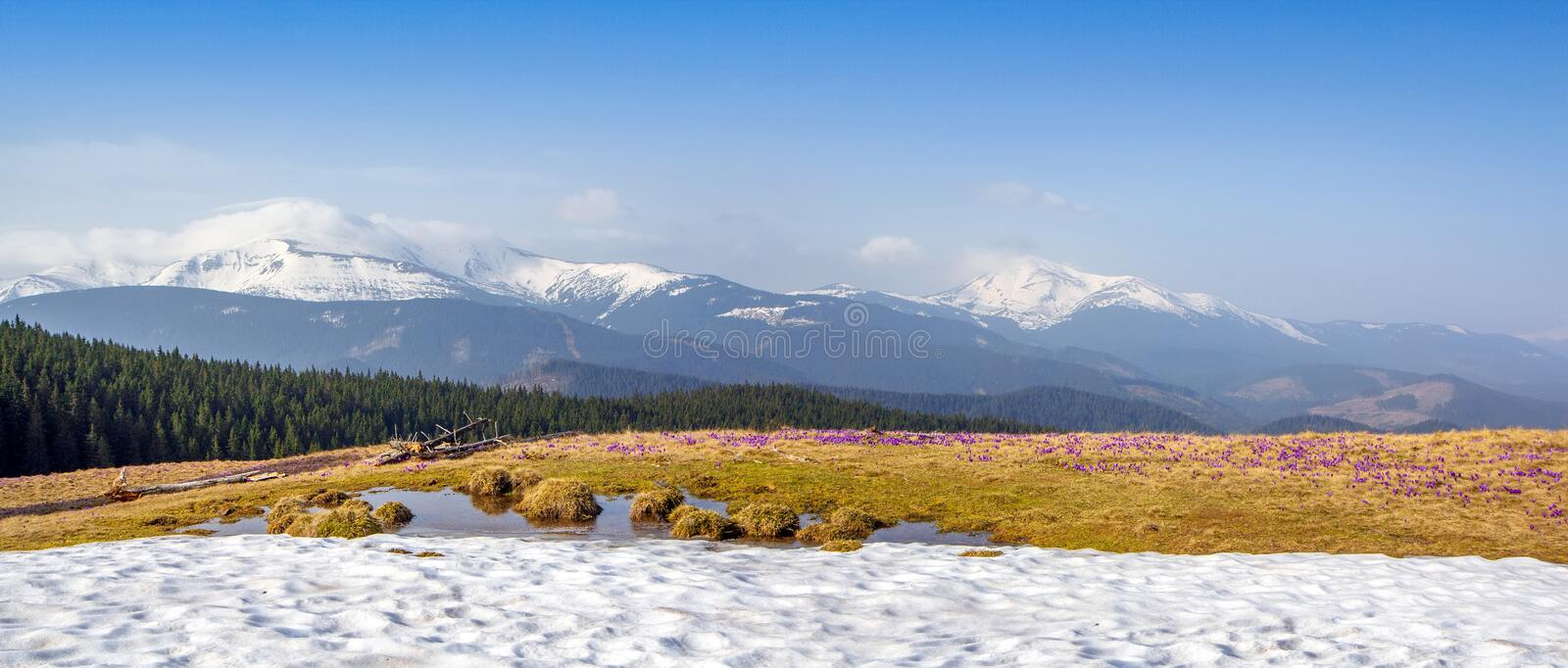 Spring snow melt and in the Carpathian valleys grow beautiful alpine flowers crocuses, they are also Geyfelya, primroses, mountain royalty free stock image
