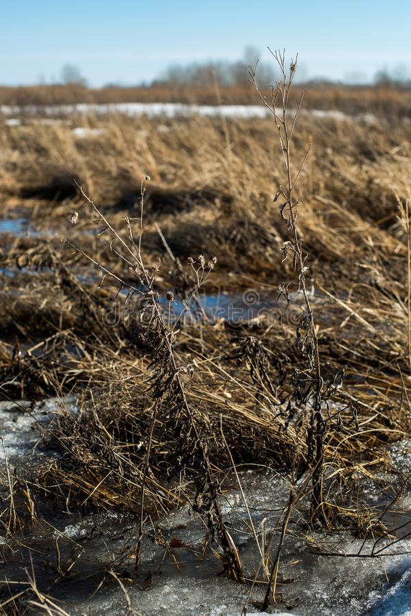 Snow melts and accumulated melt water forms a swamp. Spring, snow melts and accumulated melt water forms a swamp royalty free stock image